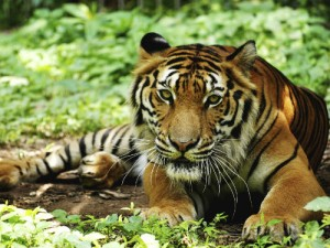 The tiger is the number one creature to see in India