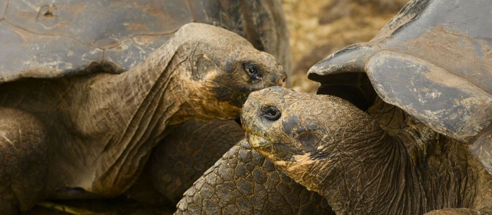 Discover giant tortoises on the Galapagos Islands