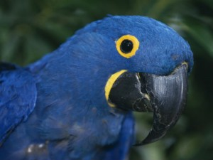 The hyacinth macaw is one of the many rare species you can spot in Latin America