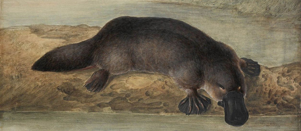 Platypus-illustration-by-John-Lewin