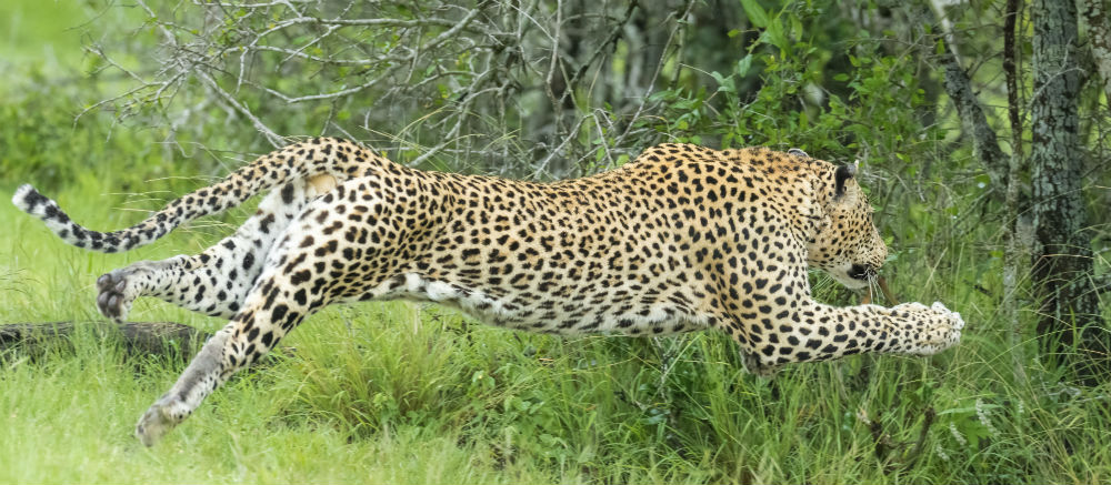 Leopards rank among Sri Lanka's most exciting wildlife