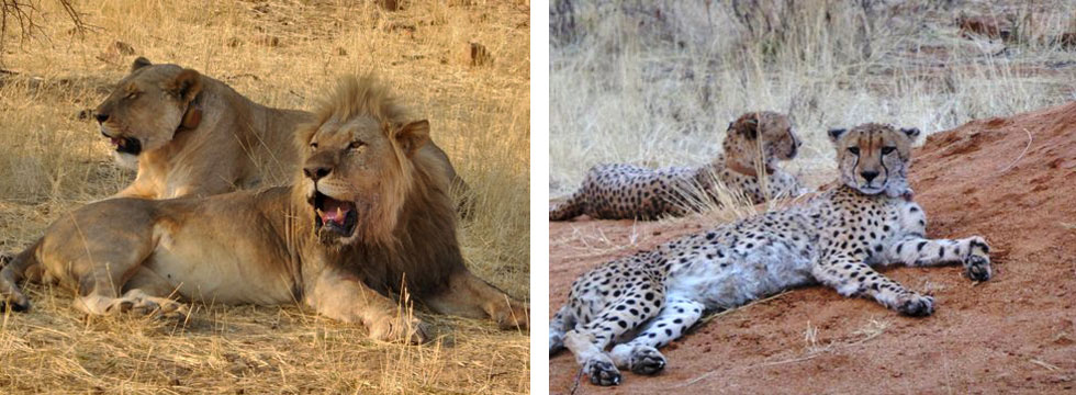lions-and-cheetahs