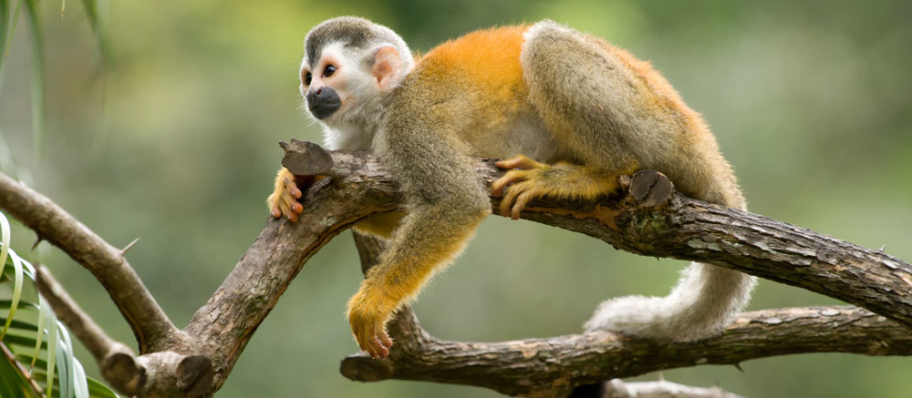 Squirrel-Monkey-Costa-Rica