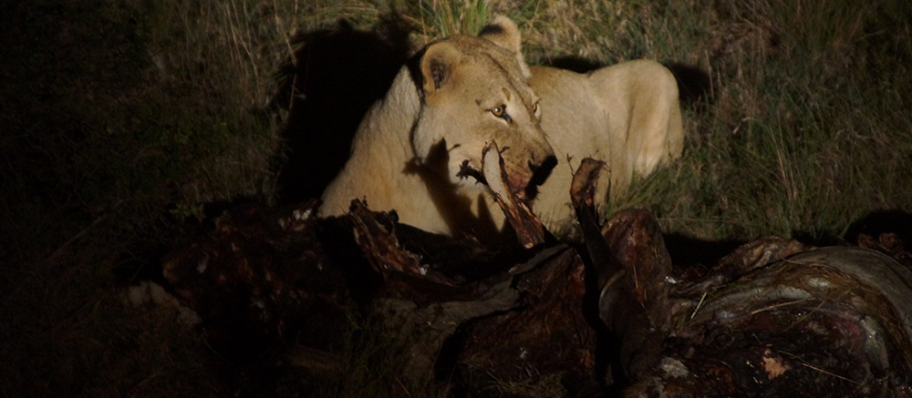 Lioness eating kill