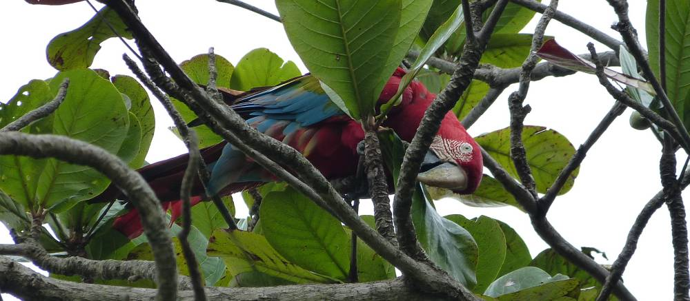 Colourful macaw in Brazil
