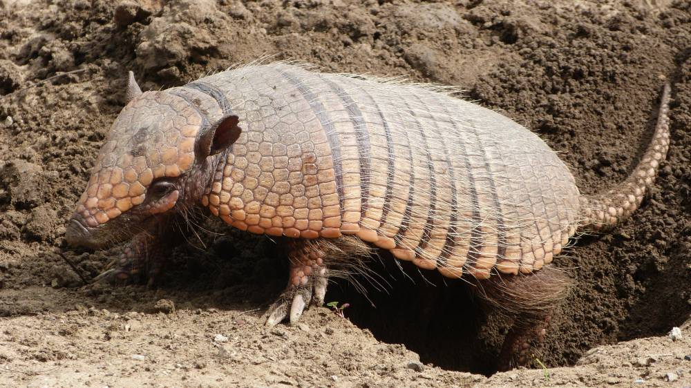 Armadillo at Caiman Ecological Refuge