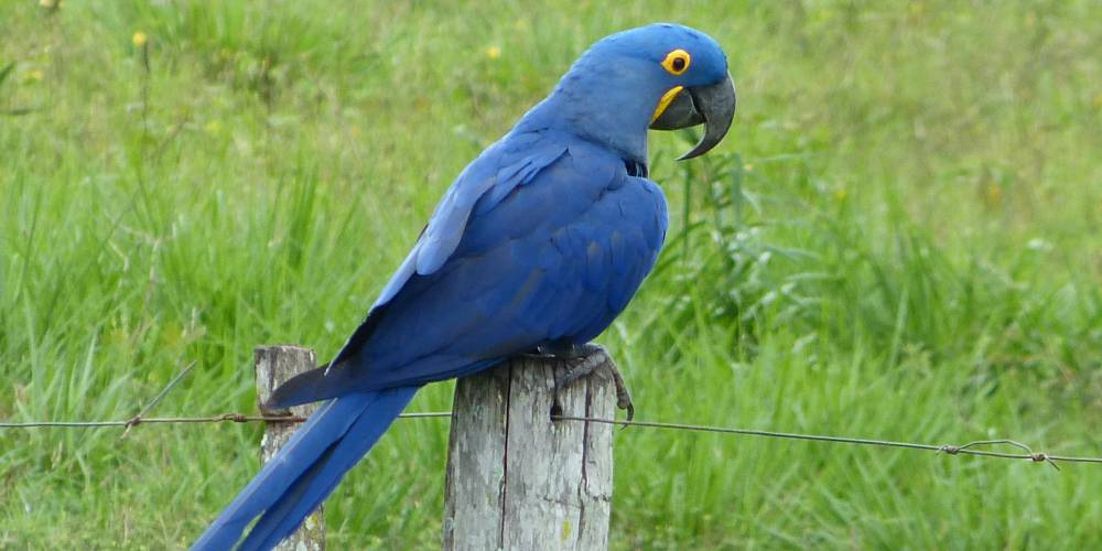 A hyacinth macaw at Caiman Ecological Refuge