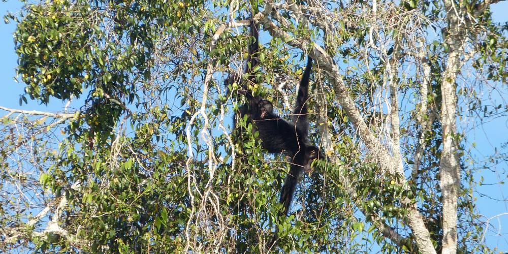 A family of spider monkeys