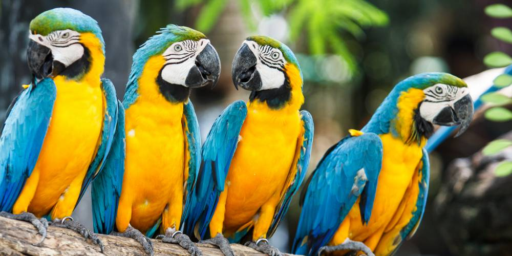 .Blue and yellow macaws, Central and South America