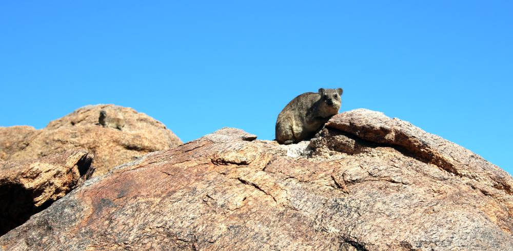 A dassie or Rock hyrax at the Augrabies Falls National Park