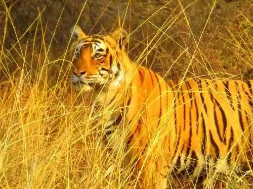 Tigers… and India's other wildlife