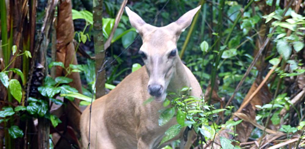 White-tailed deer in Manuel Antonio national park in Costa Rica
