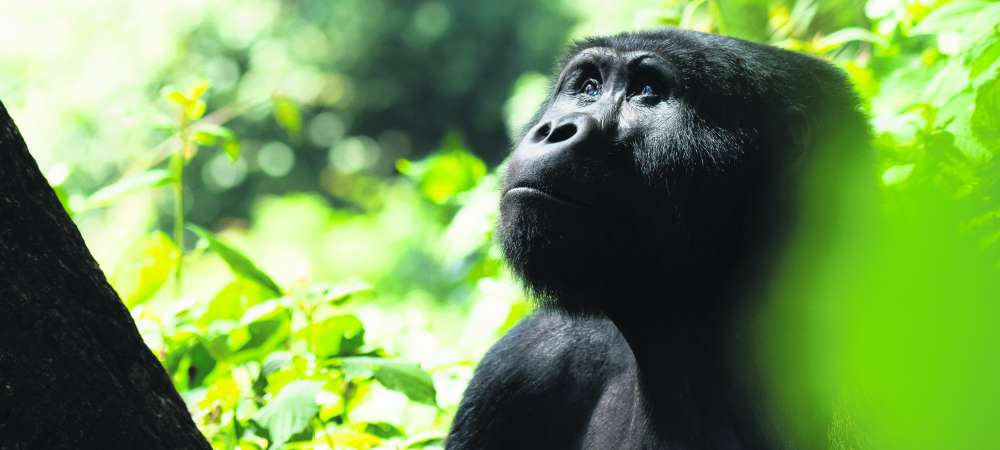 Gorilla looking upwards