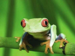 Red-eyed tree frog, Tortuguero