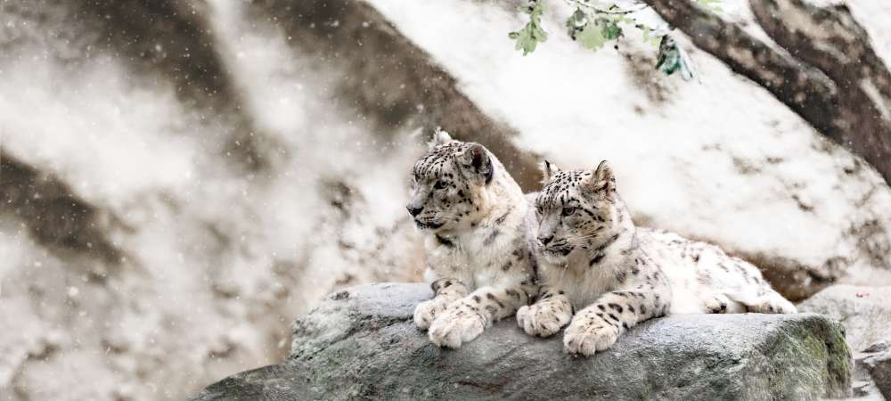 Snow leopards on the lookout