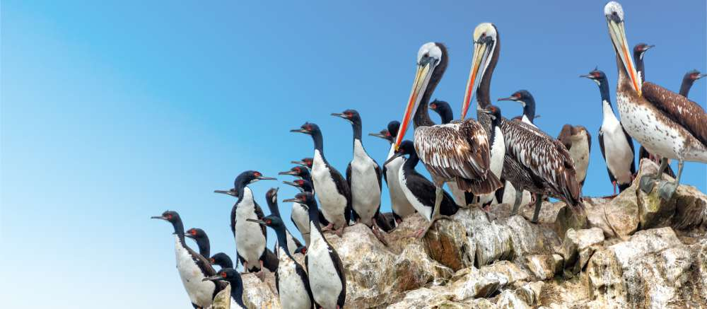 Brown pelicans and guanay cormorants, Ballestas Islands