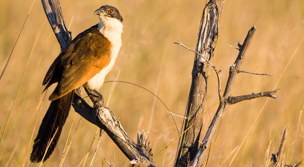 A coppery-tailed coucal