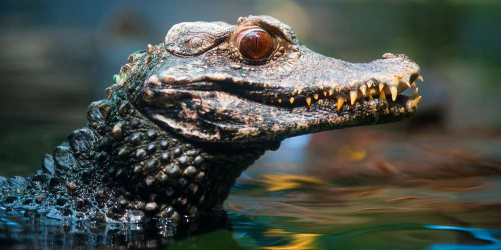 Caiman in the Peruvian Amazon, Iquitos