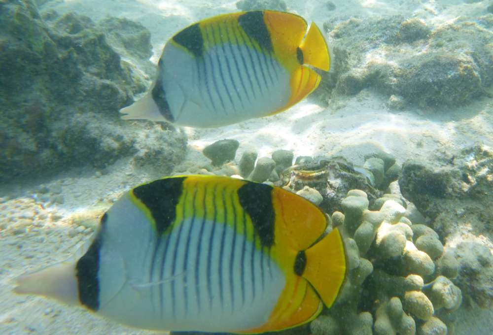 Double-saddled butterflyfish