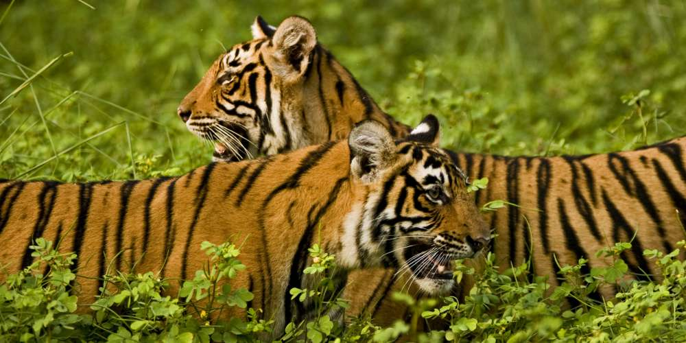 Tigers in, Ranthambore National Park