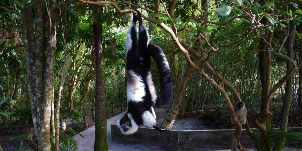 A black-and-white ruffed lemur hanging from a tree