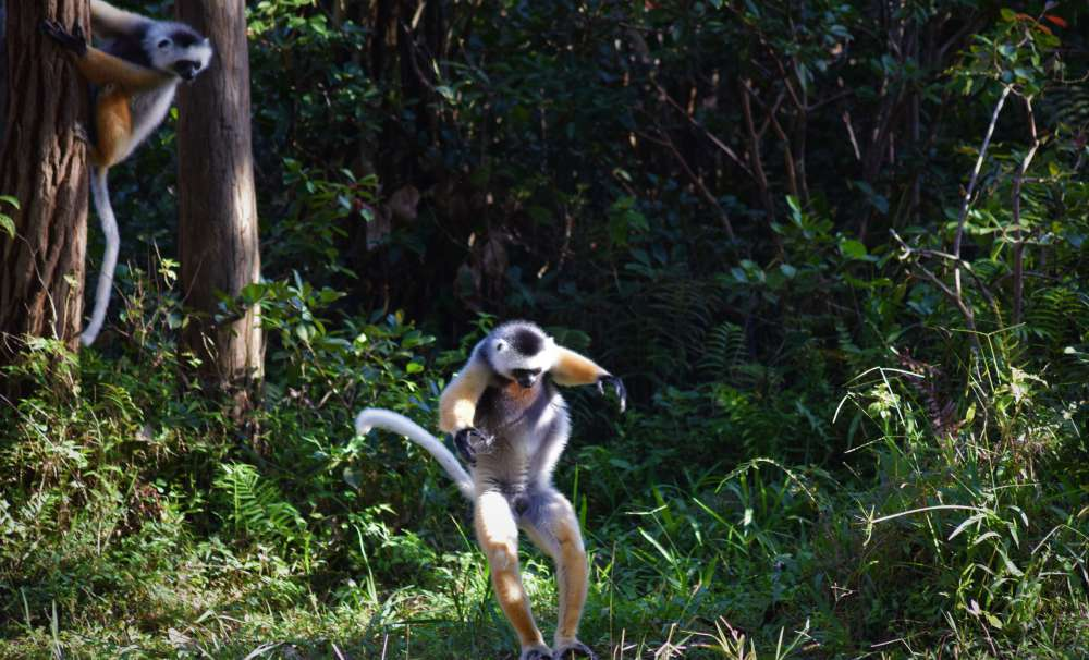 A diademed sifaka on the move