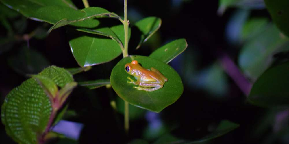 A Boophis tree frog by night, in Analamazaotra Special Reserve