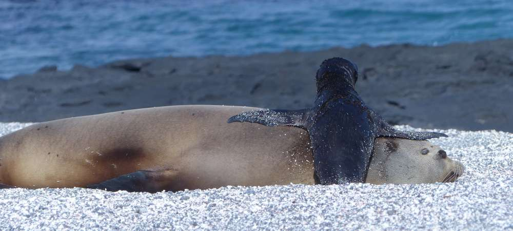 A Galapagos sea lion with a pup