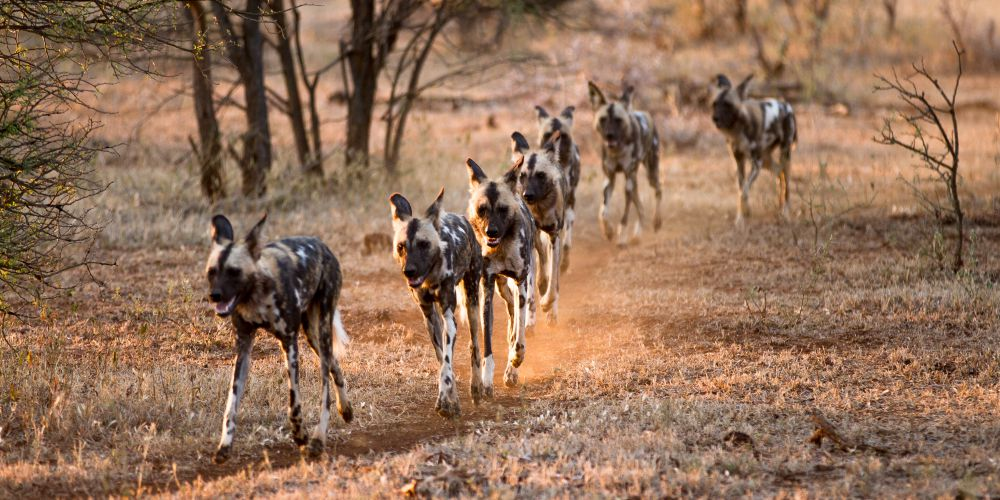 Wild dogs hunting, South Africa