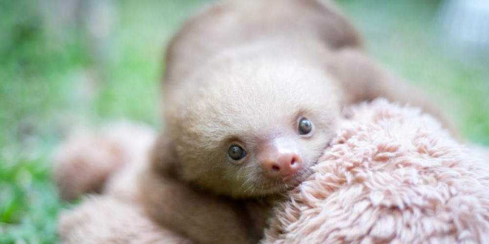 An orphaned sloth
