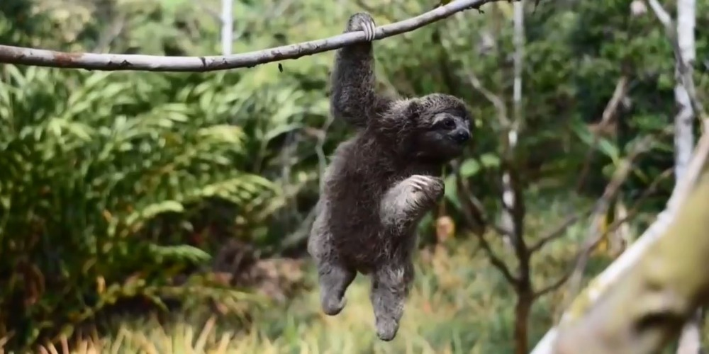 A sloth hanging out