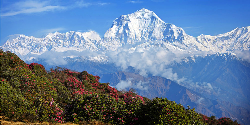Rhododendrons against the backdrop of the Himalaya, India
