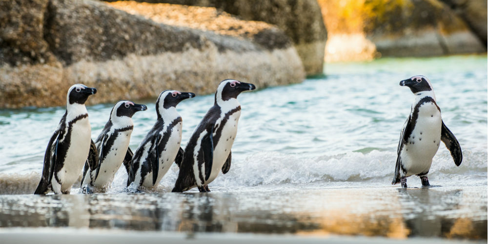African penguins, Boulders Beach, Cape Town, South Africa
