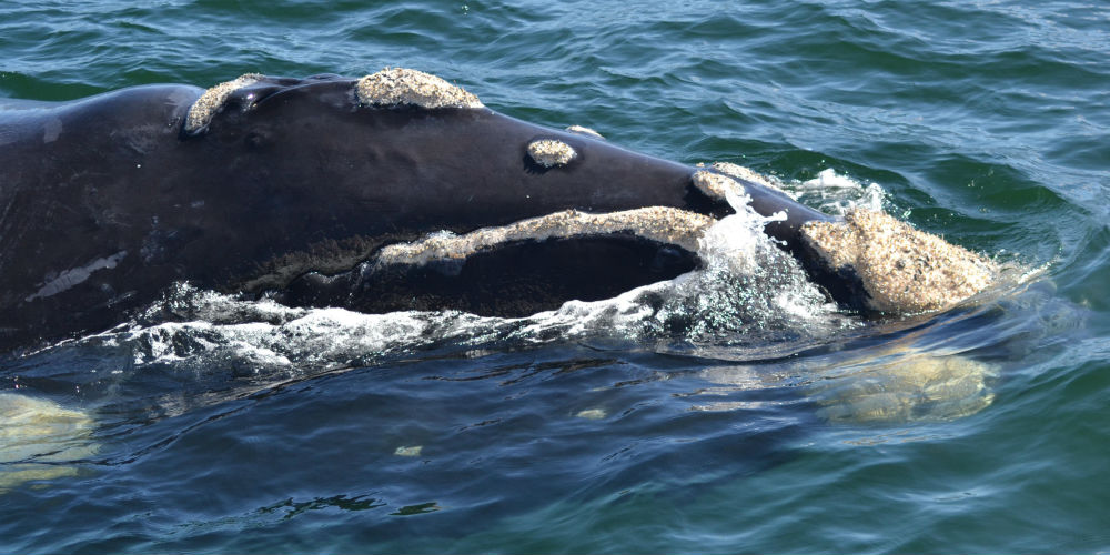 Playful male whale, Hermanus, South Africa