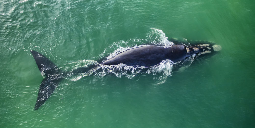 Southern right whale, Hermanus, South Africa