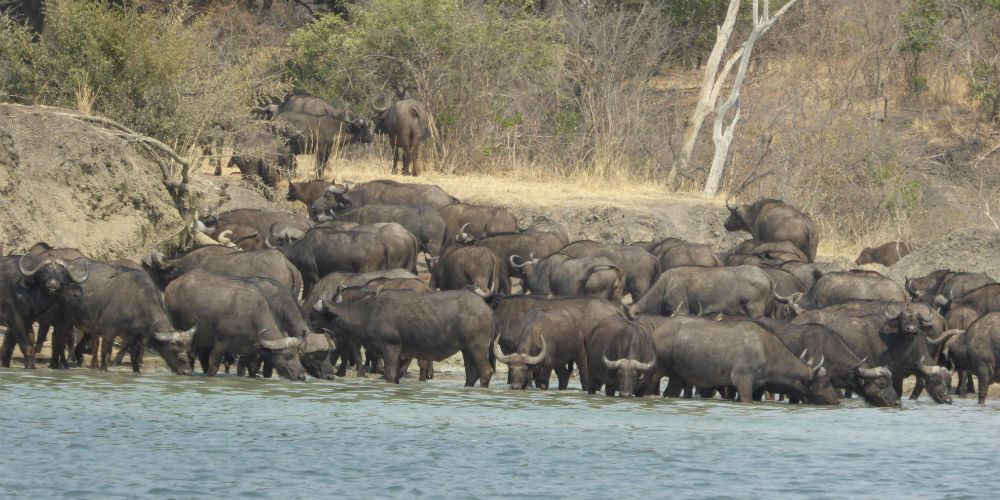 Water buffalo, Zambia