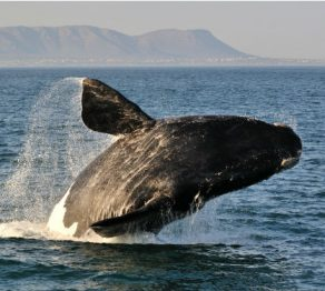 A beginner's guide to…whale watching in Walker Bay