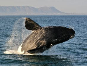 A beginner's guide to …whale watching in Walker Bay